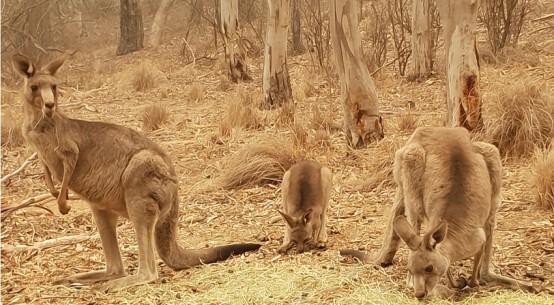 kangaroos-hand-feeding-Cr-Maria-Taylor-Jan2020