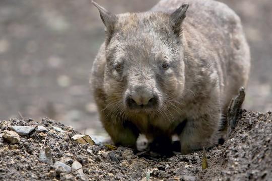 tales-wombat-heroes-LivFalvey-Shutterstock-jan2020