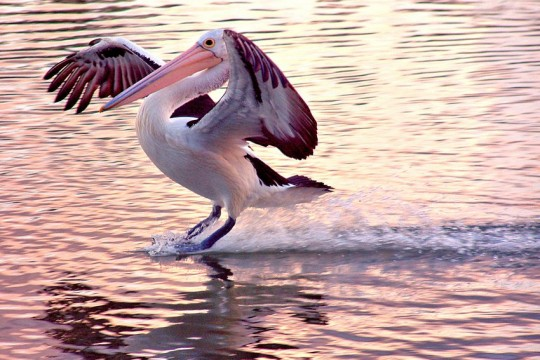 Pelican on Murray River-credit HypervisionCREATIVE_feb2020