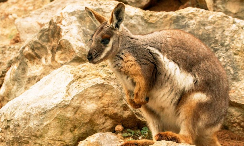 rock-wallaby-credit-Whitepointer-Feb2020