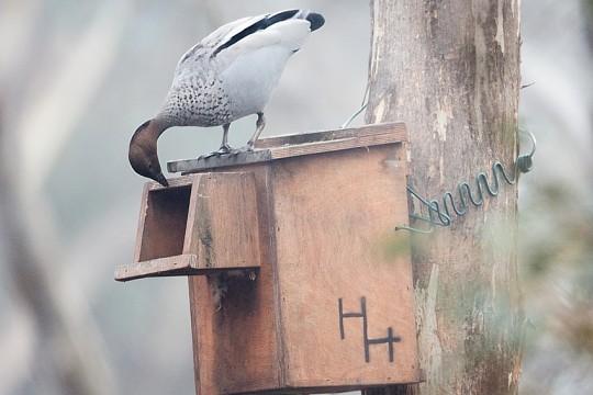 wood-duck-nest-box-Feb2020
