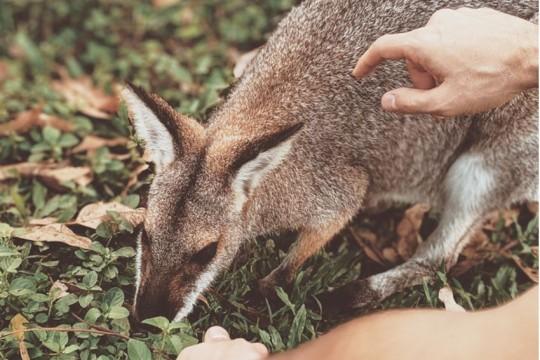 wallaby-feeding-by-ValeriiaMILLER-Pexels