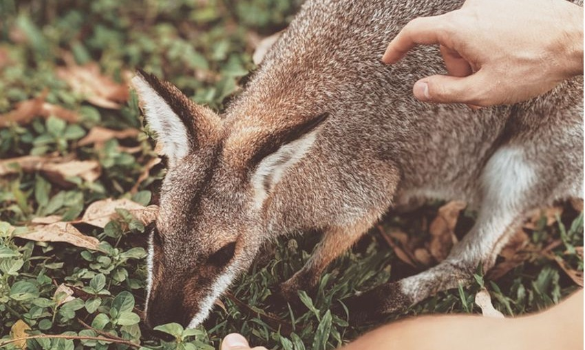 wallaby-feeding-by-ValeriiaMILLER-Pexels