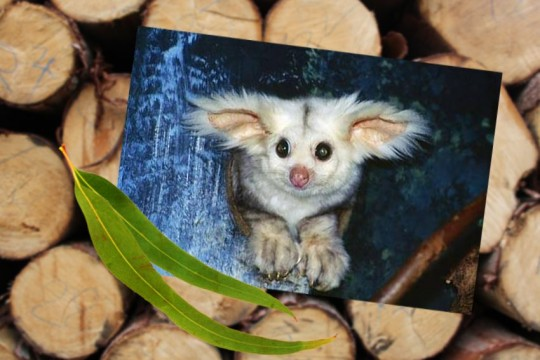 greater-glider--logging-habitat-may2020
