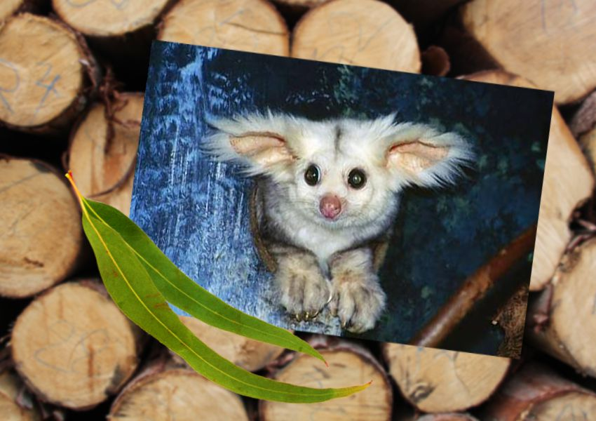 greater-glider--logging-habitat-may2020