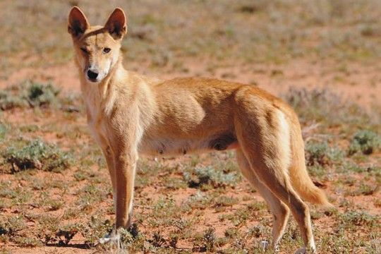 24-scientists-DINGO-baiting