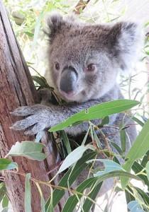koala-DBullJune2016archive