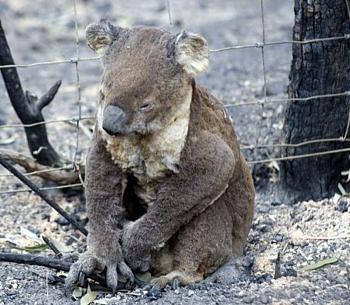 koala-bushfire-habitat-cr-M-Fillinger