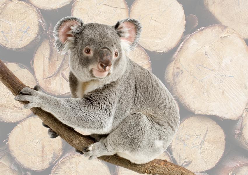 NSW-koala-habitat-logging