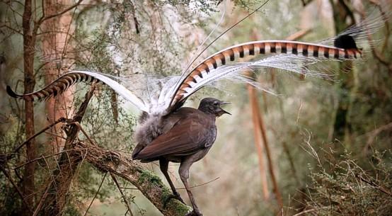 superb-lyrebird-author-supplied-Alex-Maisey