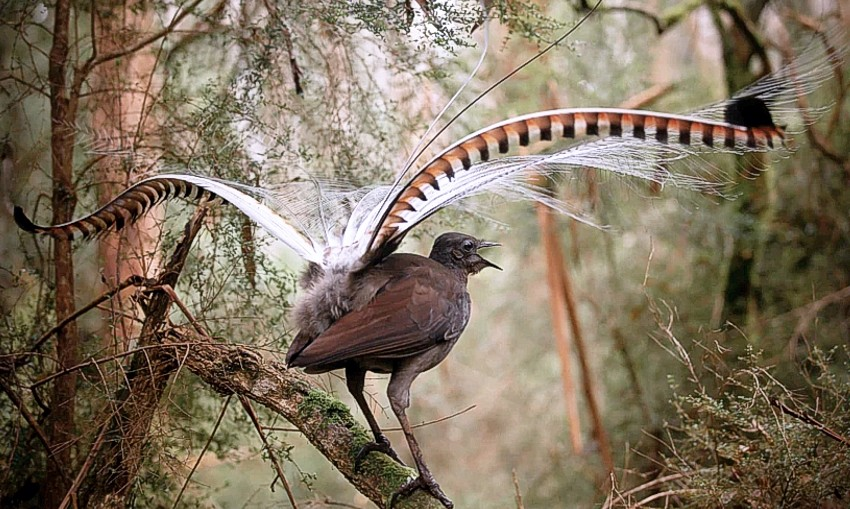 superb-lyrebird-author-supplied-Alex-Maisey