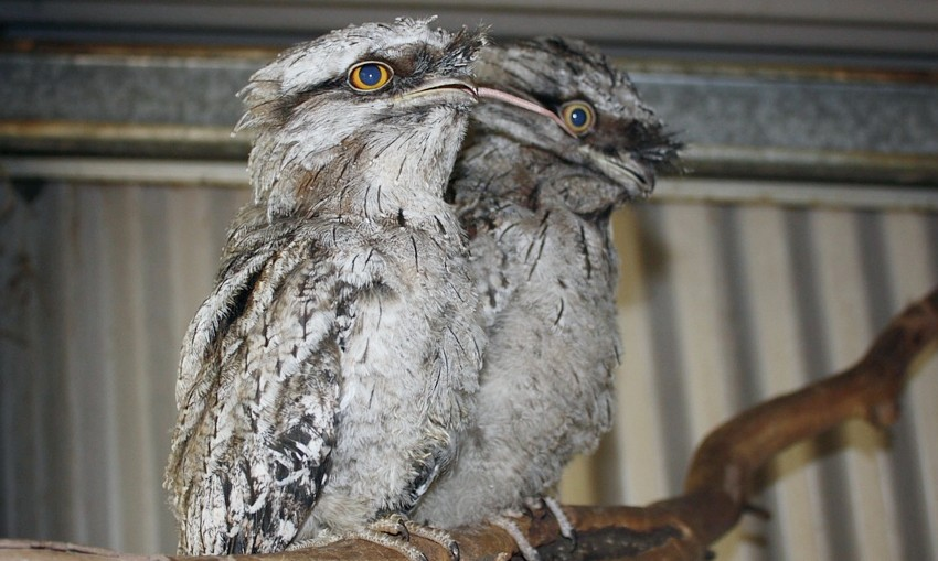 Tawny-Frogmouth-sept2020-Wildcare-Qbn-supplied