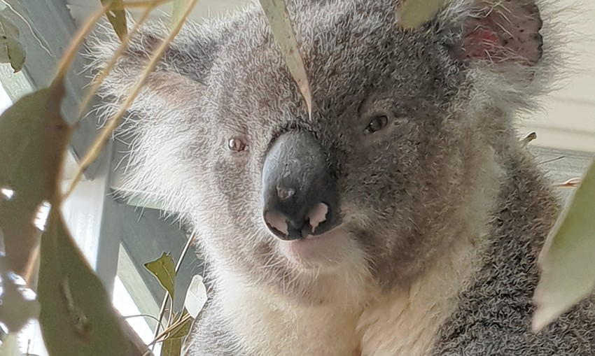 koala-sanctuary-supplied-James