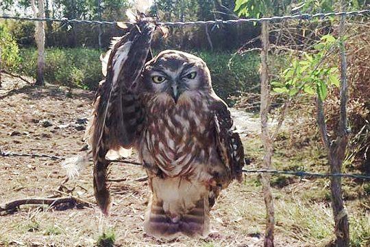 barking-owl-fence-trap-dec2020
