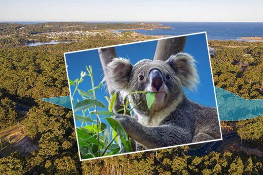 koala-recovery-plan-eurobodalla-supplied