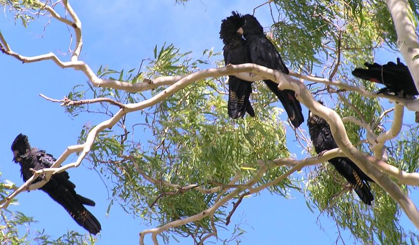 black-cockatoos-Maria-Taylor